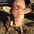 Calf saved by Anvil's Data SIMs!